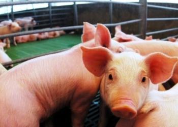 La dependencia al dólar, la falta de controles a las importaciones y la inflación, los principales problemas del sector porcino. Foto Infocielo/InfoGEI