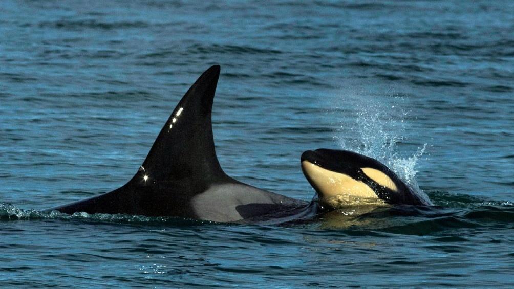 Los grupos de orcas recorren desde Península Valdez hasta Costa Bermeja. Foto: Marcelo Ochoa