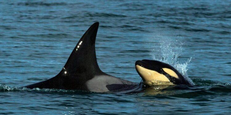 avistan por primera vez una cria de orcas frente a las costas de rio negro