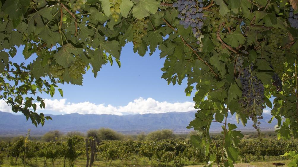 El Camino del Vino de Tucumán se extiende por unos 100 kilómetros.