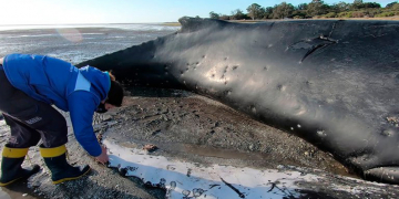 un ejemplar de ballena yubarta murio varado y piden a la poblacion que no se acerque